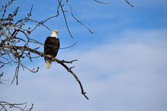 Perched American Bald Eagle Stock Photos