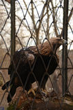 Eagle on a branch in the cage. Eagle in the cage in zoo, predatory bird Royalty Free Stock Photography