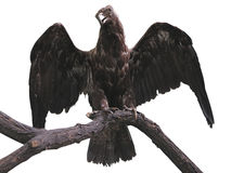 Eagle on a branch with wings spread isolated over white Stock Photos