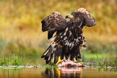 Eagle Branco-atado, albicilla do Haliaeetus, peixe de alimentação da matança na água, com grama marrom no fundo, Suécia Foto de Stock Royalty Free