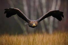 Eagle Branco-atado, albicilla do Haliaeetus, voo da cara, pássaro de rapina com a floresta no fundo Animal no habitat da natureza Fotos de Stock Royalty Free