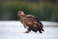 Eagle Branco-atado com os peixes no inverno nevado, neve da captura no habitat da floresta, sentando-se no gelo Cena do inverno d Imagem de Stock