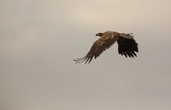Eagle Branco-atado em céus nublado Imagens de Stock