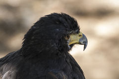 Eagle-Braungefieder und spitzer Schnabel Stockfoto