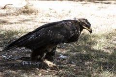 Eagle-Braungefieder und spitzer Schnabel Lizenzfreie Stockfotografie