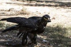 Eagle-Braungefieder und spitzer Schnabel Lizenzfreies Stockfoto