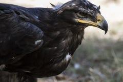 Eagle-Braungefieder und spitzer Schnabel Stockbild