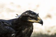Eagle-Braungefieder und spitzer Schnabel Lizenzfreie Stockfotos