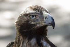 Eagle-Braungefieder und spitzer Schnabel Stockfotografie