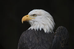Eagle With a Broken Wing. Bald Eagle with a Broken Wing Stock Photography