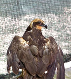 Eagle with a broken wing Stock Photo