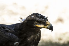 Eagle brown plumage and pointed beak Royalty Free Stock Photos