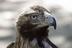 Eagle brown plumage and pointed beak Stock Photography