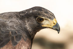 Eagle brown plumage and pointed beak Stock Images