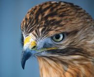 Eagle brown serious  portrait from up. Eagle brown serious  portrait view from up Stock Photography