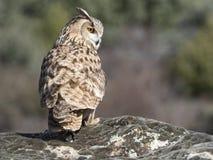Eagle-bubo die van uilbubo zich op een rots bevinden stock fotografie