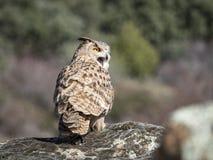 Eagle-bubo die van uilbubo zich op een rots bevinden royalty-vrije stock fotografie