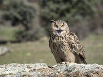 Eagle-bubo die van uilbubo zich op een rots bevinden royalty-vrije stock afbeeldingen