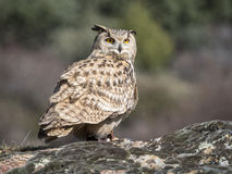 Eagle-bubo die van uilbubo zich op een rots bevinden stock afbeeldingen