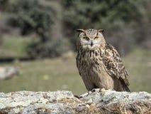 Eagle-bubo die van uilbubo zich op een rots bevinden royalty-vrije stock foto's