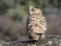 Eagle-bubo die van uilbubo zich op een rots bevinden stock foto's