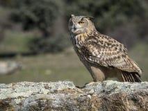Eagle-bubo die van uilbubo zich op een rots bevinden royalty-vrije stock foto