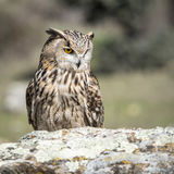 Eagle-bubo die van uilbubo zich op een rots bevinden stock afbeelding