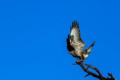 Eagle (buizerd) Stock Foto