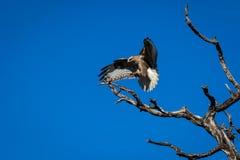 Eagle (buizerd) Royalty-vrije Stock Foto
