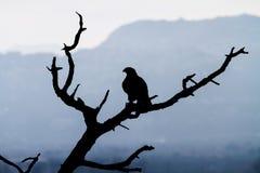 Eagle (buizerd) Royalty-vrije Stock Afbeeldingen