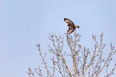 Eagle Buzzard royalty free stock image