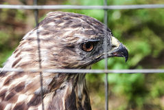 Eagle in a cage. Sad eagle. Sad hawk. Sad bird. Sadness. Eagle in cage. Bird in cage. Captured wildlife. Royalty Free Stock Photo