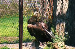 Eagle in cage stand on a stone horisontal Royalty Free Stock Images