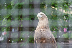 Eagle in cage at zoo Stock Photos