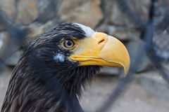 Eagle in a cage Stock Image