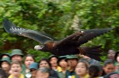 Eagle Cale-coupé la queue majestueux Images stock