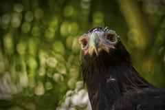 Eagle Cale-coupé la queue par Australien Photo stock