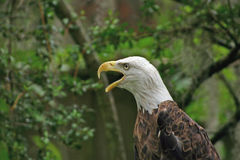 Eagle Call. Profile of bald eagle with beak open royalty free stock photo