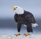 Eagle Calling Royalty Free Stock Images