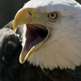 Eagle calling Stock Images