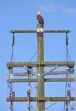 Eagle Calling a acoplarse fotografía de archivo