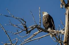 Eagle Calling Out While Perched calvo alto en el árbol del invierno foto de archivo libre de regalías