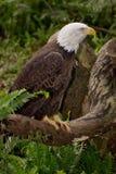 Eagle calvo Immagini Stock