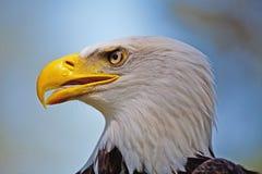 Eagle calvo Fotografie Stock