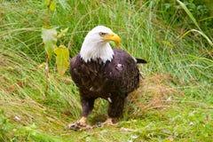 Eagle calvo, Alaska, U.S.A. immagini stock