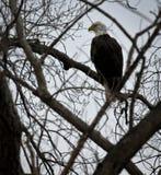 Eagle calvo americano Foto de archivo