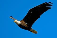 Eagle calvo americano Imagenes de archivo
