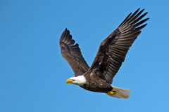 Eagle calvo americano fotos de archivo