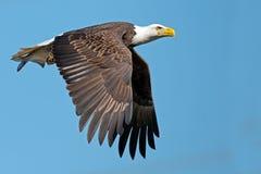 Eagle calvo americano fotografía de archivo libre de regalías