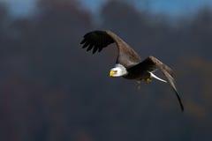 Eagle calvo americano Fotografía de archivo